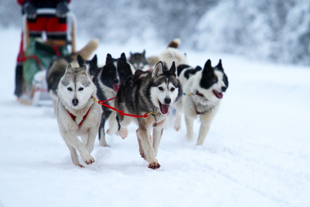 Coconut Club Vacations Reviews the Iditarod – A Top Reason For Traveling to Alaska